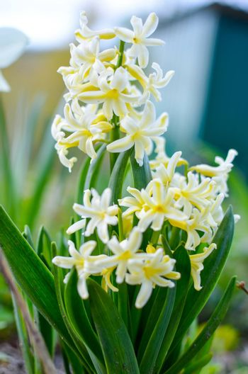 Light yellow hyacinth flowers in the garden as background