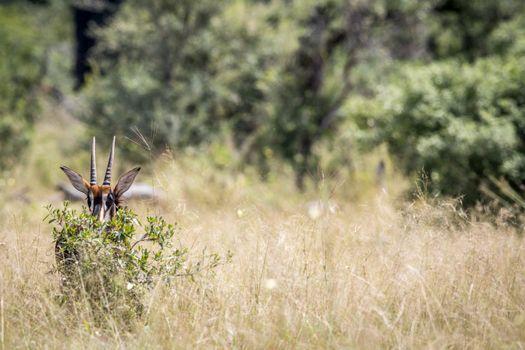 Young Sable antelope hiding behind a bush.