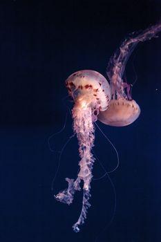 Purple striped jellyfish Chrysaora colorata has long tentacles