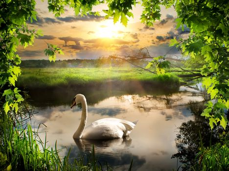 Swan in spring morning