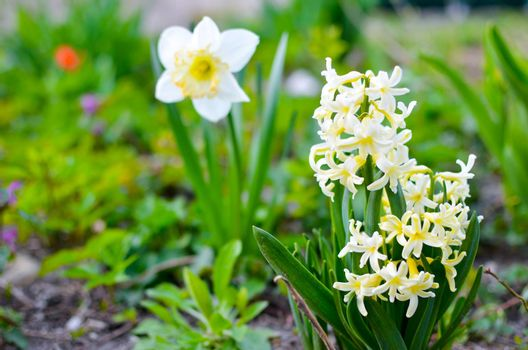 Light yellow hyacinth and narcissus flowers in the garden as background