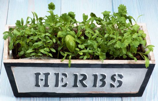 Fresh Greens with Coriander and Basil in Wooden Pot with Inscription closeup on Wooden background