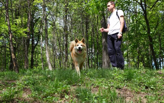 Akita Inu puppy and young man walking in the forest
