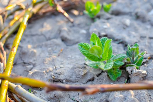 Macro of garden mint sprouts on soil at spring with tiny fence