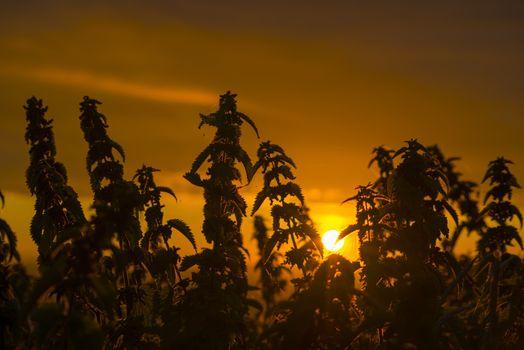 beautiful sunset through the wild nettles on the wild atlantic way in ballybunion county kerry ireland