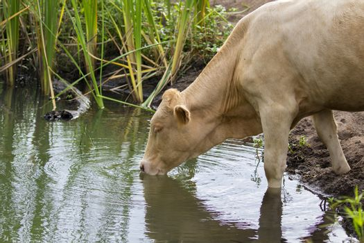 Image of brown cow drinking water in a swamp. Animal farm