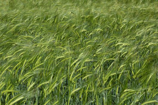 A cereal field close up ripening in the summer sun in Berkshire England