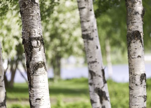 Birch Tree Trunks Close Up with grass in the background.