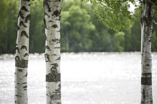 Birch Tree Trunks Close Up by water.