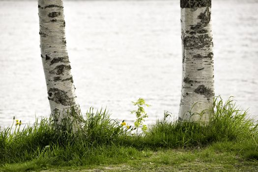 Birch Tree Trunks Close Up with grass by water.