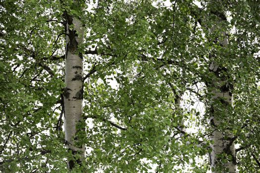 Pair of Birch Trees with green leaves close up.