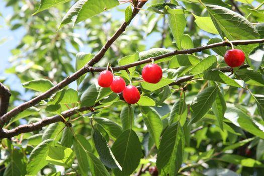 Organic red cherries on the tree
