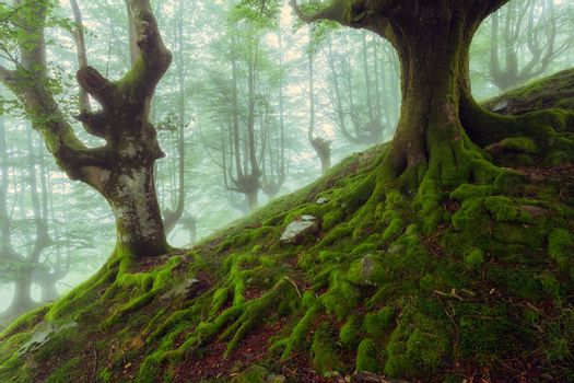 Beech roots in a foggy day