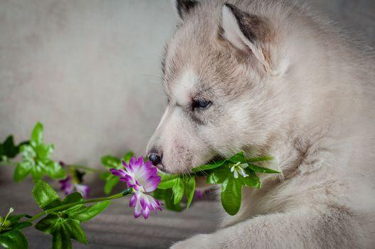 Siberian husky puppy close up on background .
