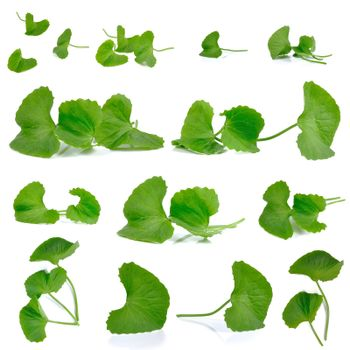 Gotu kola Set isolated on white background