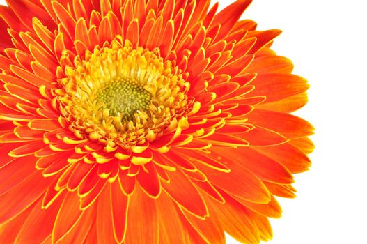 gerbera daisy close up macro texture