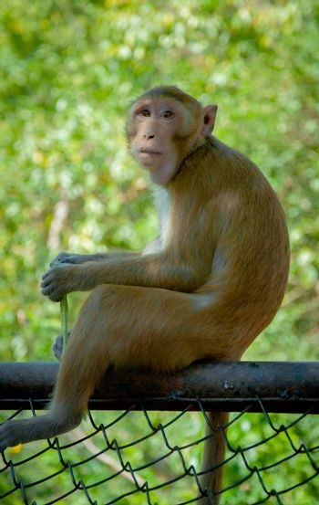 monkey sitting on fence for background