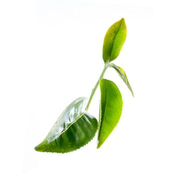 green tea leaves close up on white background