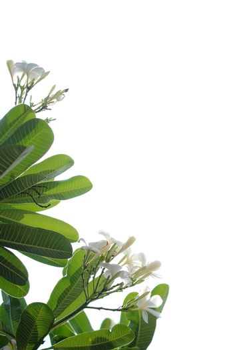 Plumeria close up isolated on white background
