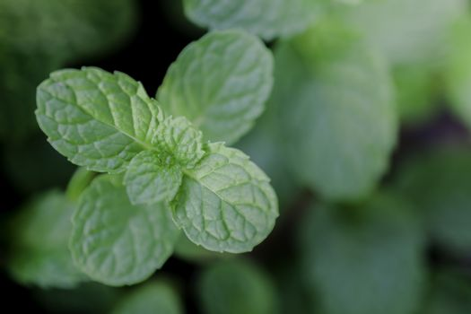 mint leaves close up on background