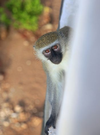 Curious monkey on the balcony of the hotel, Kenya