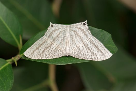 Image of Pointed Flatwing Butterfly(Micronia aculeata) on green