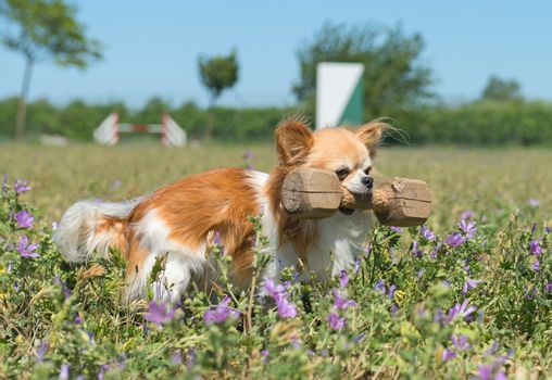 training of obedience for chihuahua