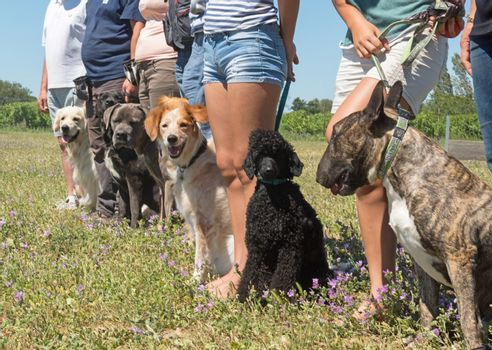dogs in a training of obedience