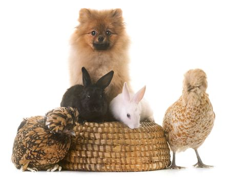 young rabbits, chicken,  and pomeranian in front of white background