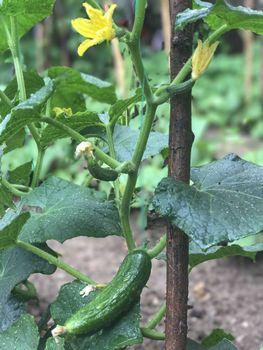 cultivate a natural garden cucumber