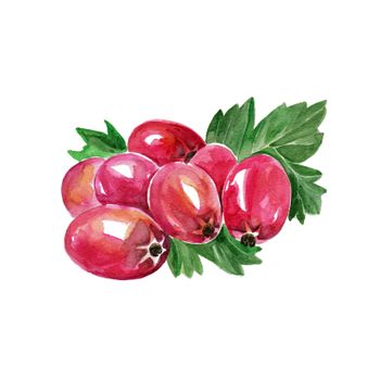Watercolor Hawthorn. Hand Drawn Illustration Organic Food Vegetarian Ingredient