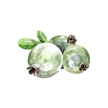 Watercolor Feijoa, Pineapple Guava. Hand Drawn Illustration Organic Food Vegetarian Ingredient