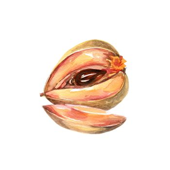 Watercolor Pouteria Sapota, Mamey Sapote. Hand Drawn Illustration Organic Food Vegetarian Ingredient