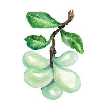 Watercolor Asimina. Hand Drawn Illustration Organic Food Vegetarian Ingredient