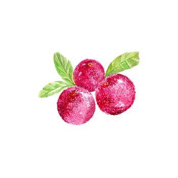 Watercolor Yangmei. Hand Drawn Illustration Organic Food Vegetarian Ingredient