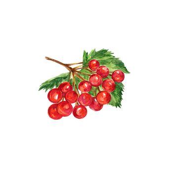 Watercolor Red Berries of Viburnum. Hand Drawn Illustration Organic Food Vegetarian Ingredient