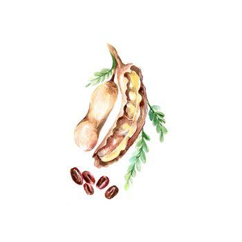 Watercolor Tamarind. Hand Drawn Illustration Organic Food Vegetarian Ingredient