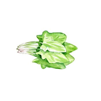 Watercolor Spinach. Hand Drawn Illustration Organic Food Vegetarian Ingredient