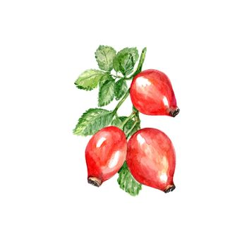 Watercolor Rose Hips. Hand Drawn Illustration Organic Food Vegetarian Ingredient