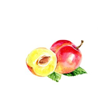 Watercolor Plum. Hand Drawn Illustration Organic Food Vegetarian Ingredient