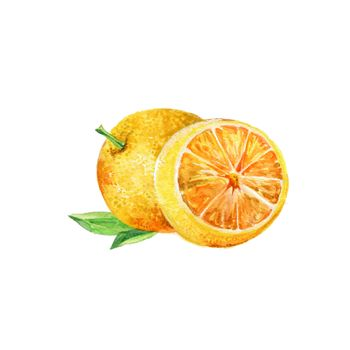 Watercolor Orange. Hand Drawn Illustration Organic Food Vegetarian Ingredient