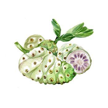Watercolor Noni. Hand Drawn Illustration Organic Food Vegetarian Ingredient