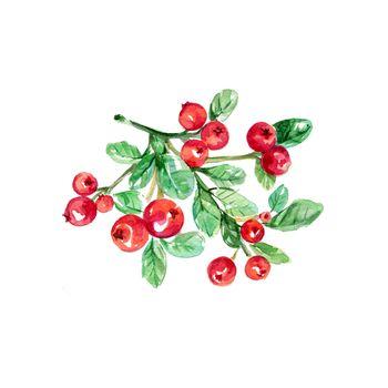 Watercolor Lingonberry. Hand Drawn Illustration Organic Food Vegetarian Ingredient