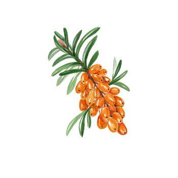 Watercolor Sea Buckthorn Branch with Ripe Berries. Hand Drawn Illustration Organic Food Vegetarian Ingredient