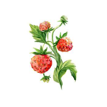 Watercolor Strawberry. Hand Drawn Illustration Organic Food Vegetarian Ingredient