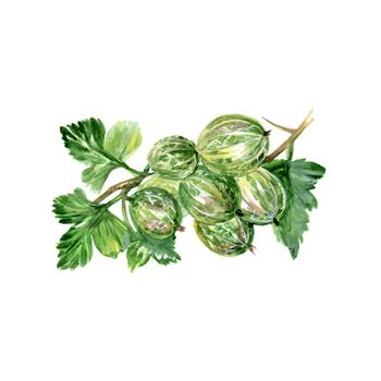 Watercolor Gooseberry. Hand Drawn Illustration Organic Food Vegetarian Ingredient