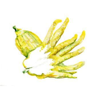Watercolor Fingered Citron. Hand Drawn Illustration Organic Food Vegetarian Ingredient