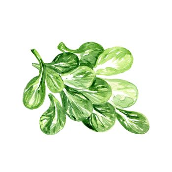 Watercolor Corn Lettuce. Hand Drawn Illustration Organic Food Vegetarian Ingredient