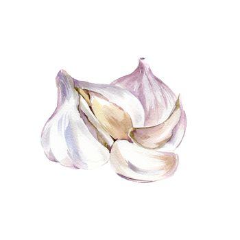 Watercolor Garlic. Hand Drawn Illustration Organic Food Vegetarian Ingredient