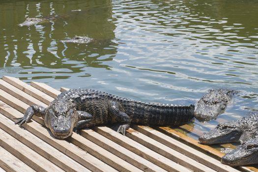 alligators in Florida tourism attraction